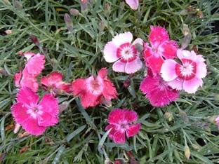 Dianthus plumarius 'Romance Mischung'
