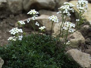 Hutchinsia (Pritzelago) alpina