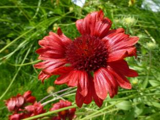 Gaillardia aristata 'Burgunder'
