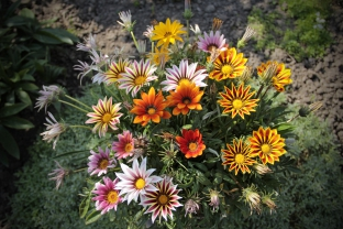 Gazania rigens 'Sunshine Mixture'