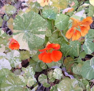 Tropaeolum majus 'Variegated Queen'