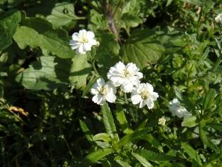 Achillea ptarmica 'Perle'