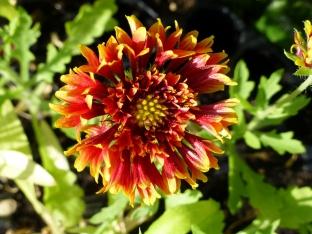 Gaillardia pulchella 'Sundance Bicolor'