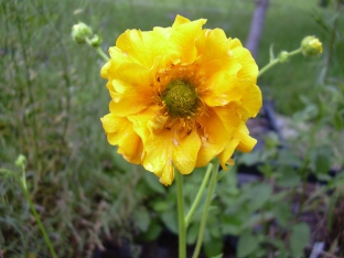 Geum chiloense 'Goldball'