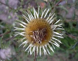 Carlina vulgaris