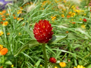 Gomphrena haageana 'Strawberry Fields'