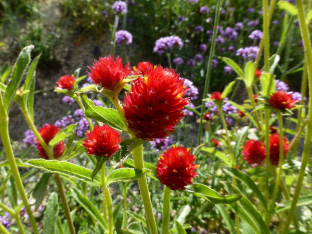 Gomphrena haageana 'Strawberry Fields'