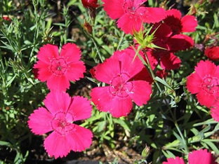 Dianthus deltoides 'Brillancy'
