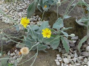 Hieracium pannosum subsp. bornmuelleri