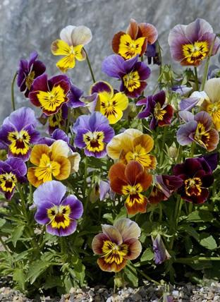Viola cornuta 'Historic Florist Pansies'