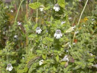 Melissa officinalis subsp. altissima