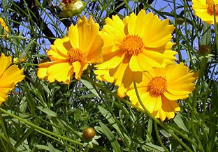 Coreopsis grandiflora 'Mayfield Giants'