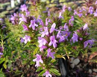 Satureja montana subsp. illyrica