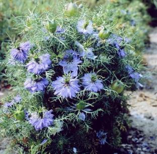 Nigella damascena 'Blue Midget'