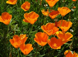 Eschscholzia californica (orange)