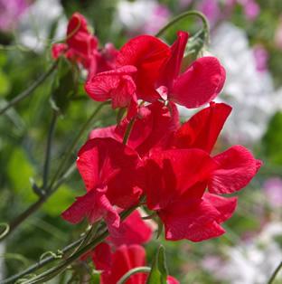 Lathyrus odoratus 'Royal Scarlet'