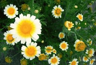 Chrysanthemum coronarium var. discolor