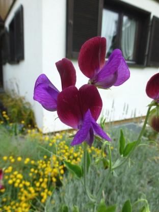 Lathyrus odoratus 'Grandiflora Cupani'