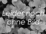 Orange Federbusch-Celosie