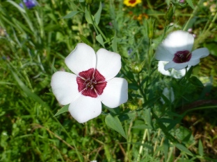 Linum grandiflorum 'Bright Eyes'