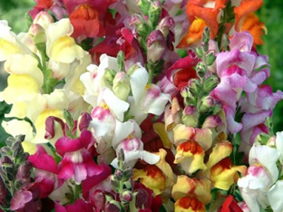 Antirrhinum majus nanum 'Dark Leaved Mix'