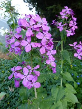 Lunaria annua (violett)
