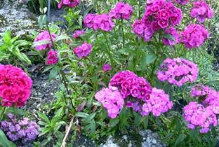 Dianthus barbatus 'Indianerteppich'