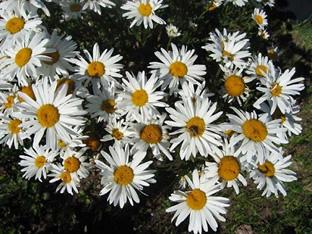 Leucanthemum maximum nanum 'Silberprinzesschen'