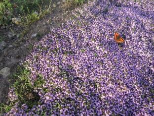 Thymus serpyllum 'Magic Carpet'