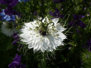 Nigella damascena 'Alba'