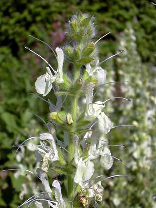 Salvia austriaca