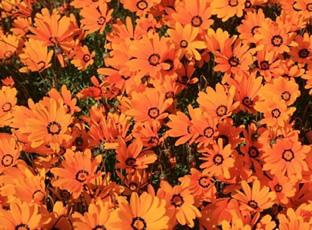 Dimorphotheca sinuata 'Orange Glory'