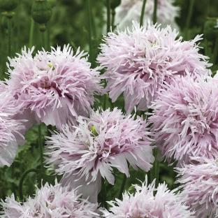 Papaver somniferum var. laciniatum 'Lilac Pompon'