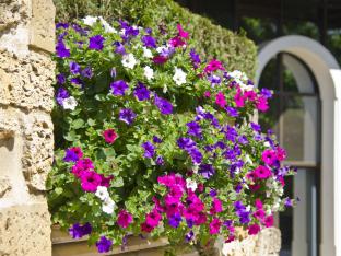 Petunia hybrida pendula Mix