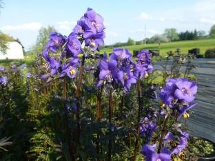Polemonium caeruleum ssp. yezoense 'Purple Rain'