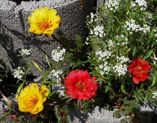 Portulaca grandiflora 'Mischung'