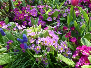 Primula vulgaris 'Grandiflora'