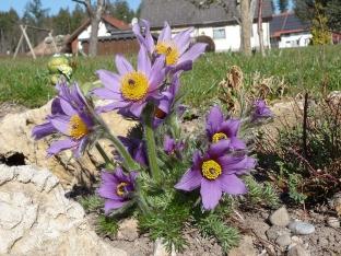 Pulsatilla vulgaris (violett)