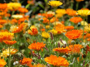 Calendula officinalis 'Pacific Beauty'