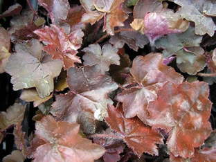 Heuchera americana 'Palace Purple'