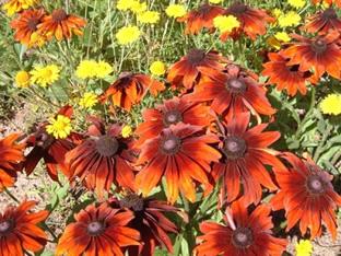 Rudbeckia hirta 'Autumn Colours'