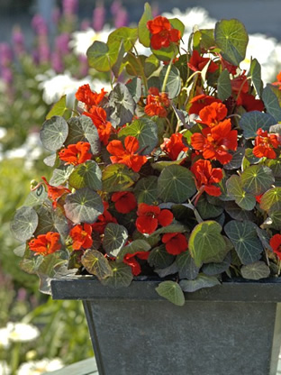 Tropaeolum minus 'Princess of India'