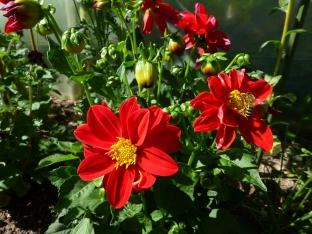 Dahlia variabilis 'Mignon Red'