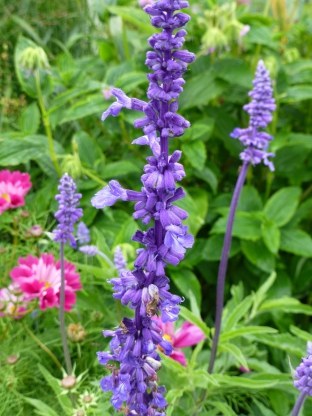 Salvia farinacea 'Blue Bedder'