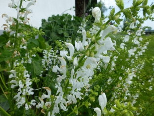 Salvia pratensis 'Swan Lake'