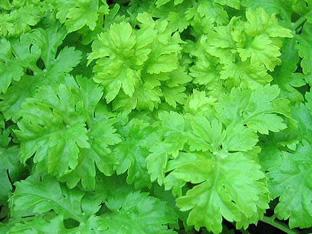 Apium graveolens secalinum