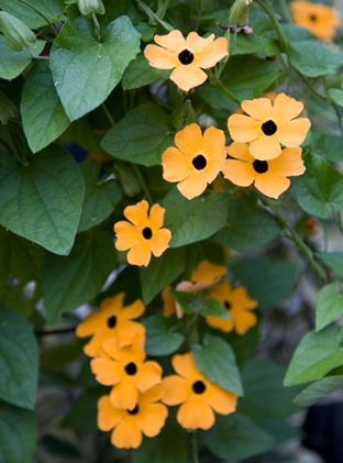 Thunbergia alata 'Orange Wonder'