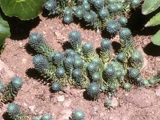 Sedum forsterianum ssp. elegans