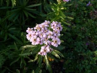 Achillea sibirica var. kamtschatica 'Love Parade'