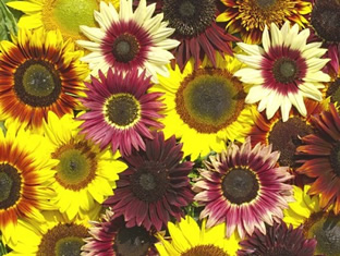 Helianthus annuus 'Summertime Mixture' F1